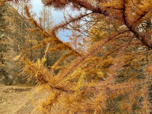 2021 Randonnée sur le Mélèze arbre de lumière et l'arole à la Forclaz dans le Val d'Hérens avec Inès Thoms de Zenaventures 1